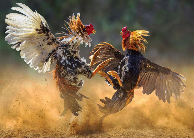 The Big Cock Fight: Cambridge vs Benin - Arbiterz